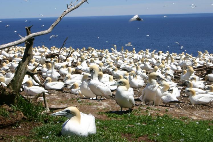 Colonie de Fous de Bassan à l'île de Bonnaventure (l'une des plus importantes colonies du monde)